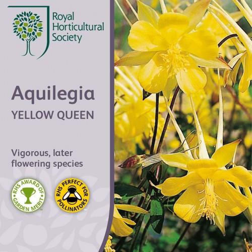 Seminte AQUILEGIA chrysantha Yellow Queen-Caldaruse