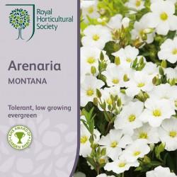 Seminte ARENARIA montana-Studenita