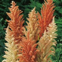 Seminte AMARANTHUS cruentus Autumn Palette - Motul curcanului