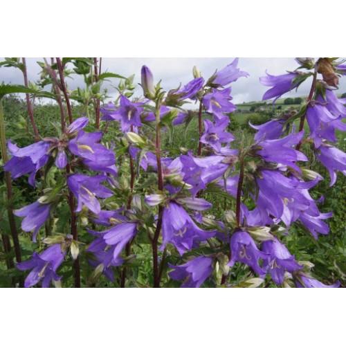 Seminte CAMPANULA trachelium Bellflower - Clopotei