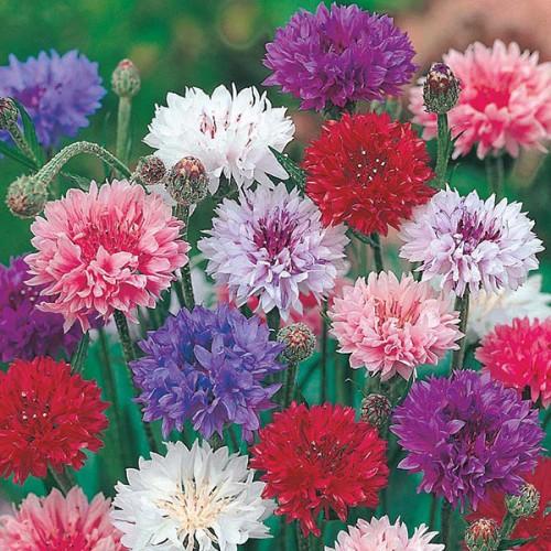 Seminte CENTAUREA cyanus-Cornflower Polka Dot - Albastrele amestec de culori