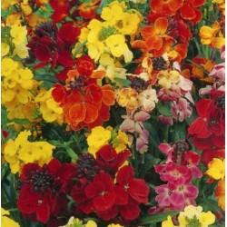 Seminte CHEIRANTHUS cheiri-Wallflower-Choice Mix-Micsunele
