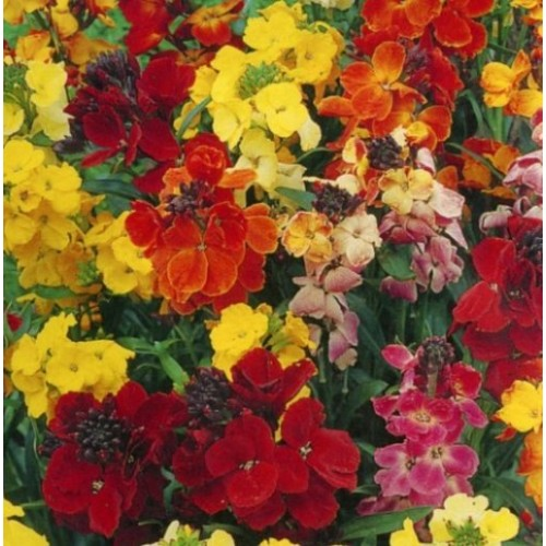 Seminte CHEIRANTHUS cheiri-Wallflower-Choice Mix-Micsunele