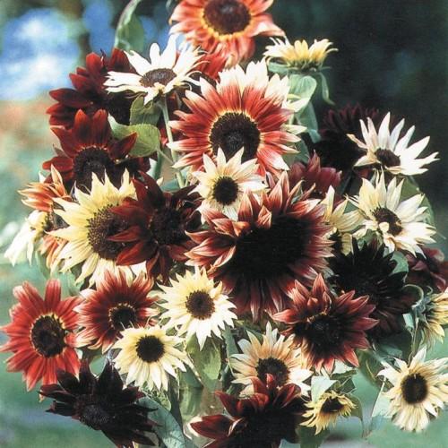 Seminte HELIANTHUS annuus-Sunflower- Infrared F1-Floarea soarelui