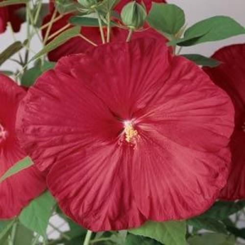Seminte HIBISCUS moscheutos Luna F1 Red - Hibiscus cu floare mare