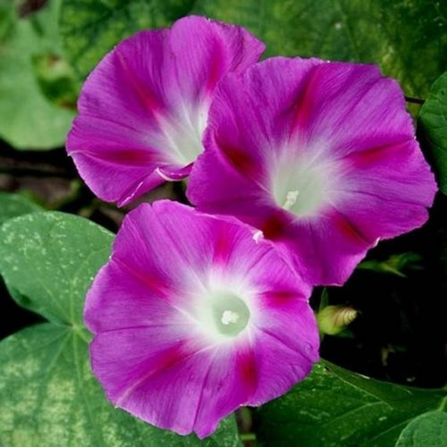 Seminte IPOMOEA purpurea Party Dress-Zorele