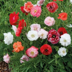 Seminte PAPAVER rhoeas-Poppy- Can Can Mix - Mac