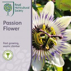 Seminte PASSIFLORA caerulea Passion Flower-Floarea pasiunii