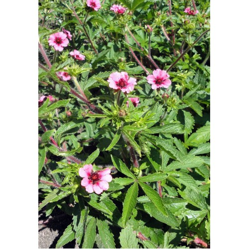 Seminte  POTENTILLA nepalensis Miss Wilmott-Cinci degete