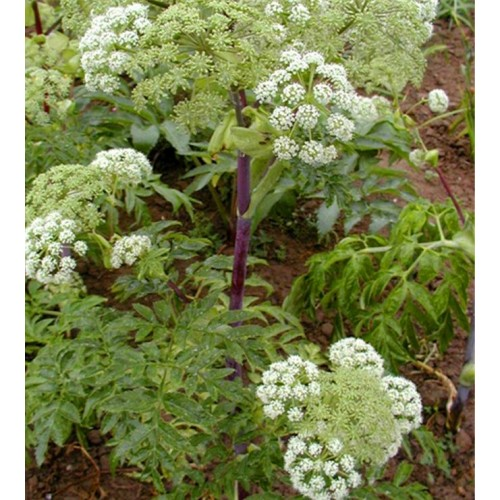 Seminte  ANGELICA archangelica (officinalis)-Angelica
