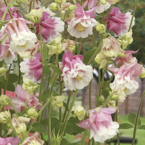 Seminte AQUILEGIA vulgaris Petticoat Pink-Caldaruse