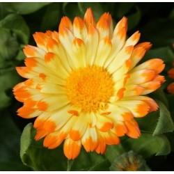 Seminte CALENDULA officinalis Oopsy Daisy - Galbenele