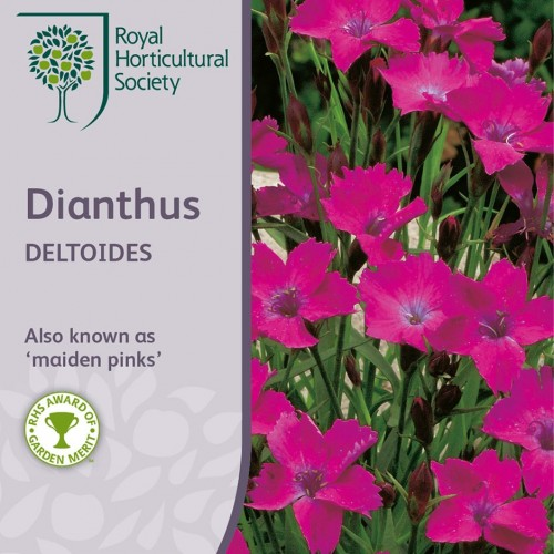 Seminte DIANTHUS deltoides Maiden Pink - Garofite pitice