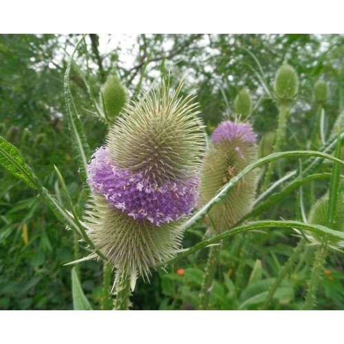 Seminte Grass - DIPSACUS fullonum -Teasel-Iarba Decorativa
