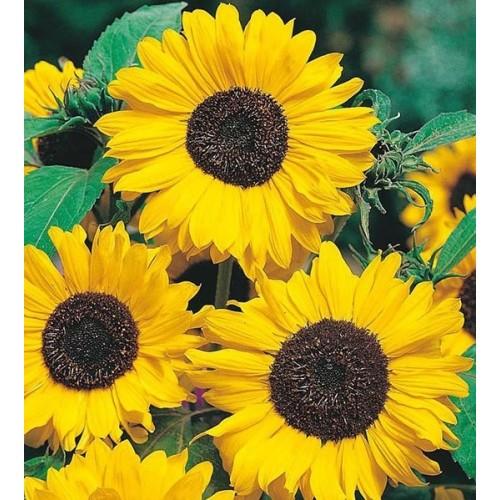 Seminte HELIANTHUS annuus-Sunflower- Hallo-Floarea Soarelui