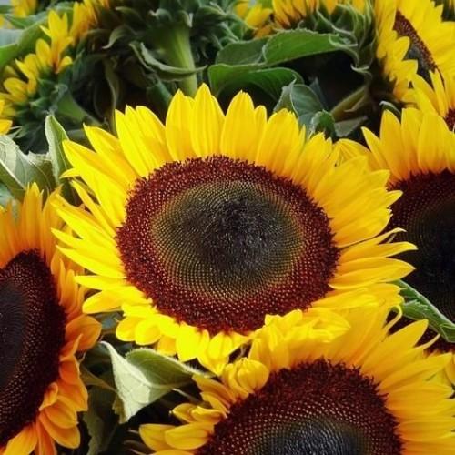 Seminte HELIANTHUS annuus-Sunflower- Taiyo-Floarea Soarelui