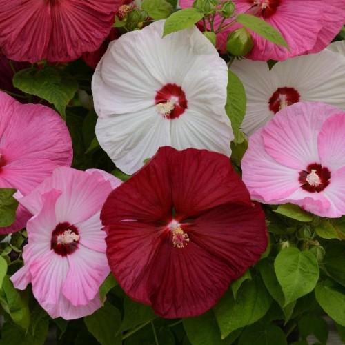 Seminte HIBISCUS moscheutos Luna Mix F1 - Hibiscus cu floare mare