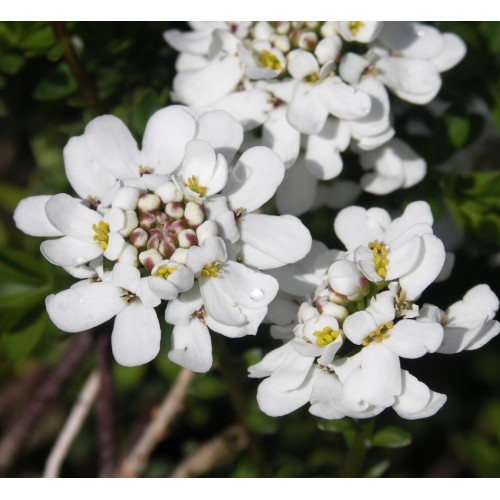 Seminte IBERIS sempervirens-Candytuft- Snowflake - Lilicele