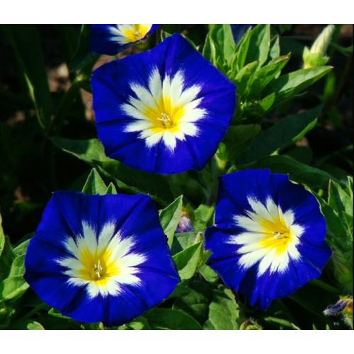 Seminte IPOMOEA tricolor -Convolvulus Blue Ensign-Zorele pitice