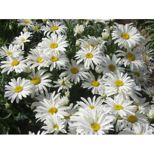 Seminte LEUCANTHEMUM chrysanthemum White Breeze-Margarete pitice