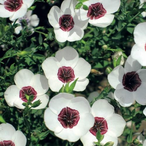 Seminte LINUM grandiflorum-Flax- Bright Eyes-In alb