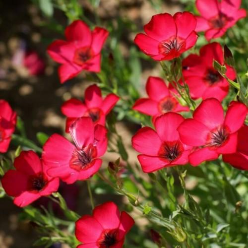 Seminte LINUM grandiflorum-Flax- Scarlet-In rosu