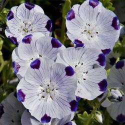 Seminte NEMOPHILA maculata Five Spot-Nemofila -cinci pete