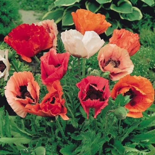 Seminte PAPAVER-Poppy- orientale Mix - Mac peren amestec