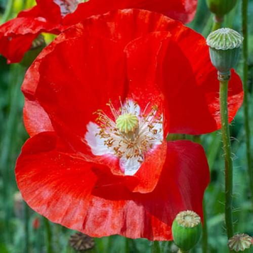 Seminte PAPAVER rhoeas-Poppy- American Legion - Mac rosu