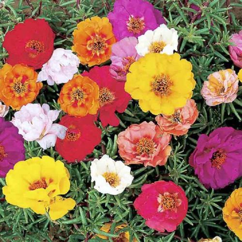 Seminte PORTULACA grandiflora Double Mixed - Flori de piatra
