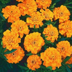 Seminte TAGETES patula-French- Orange Boy - Craite