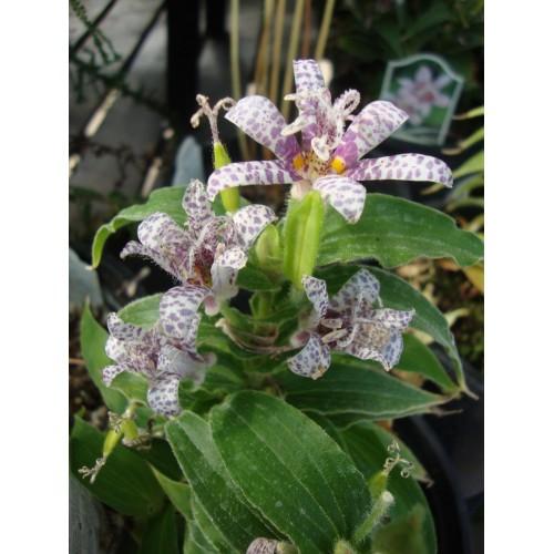 Seminte TRICYRTIS hirta -Toad Lily-Orhidee de apa