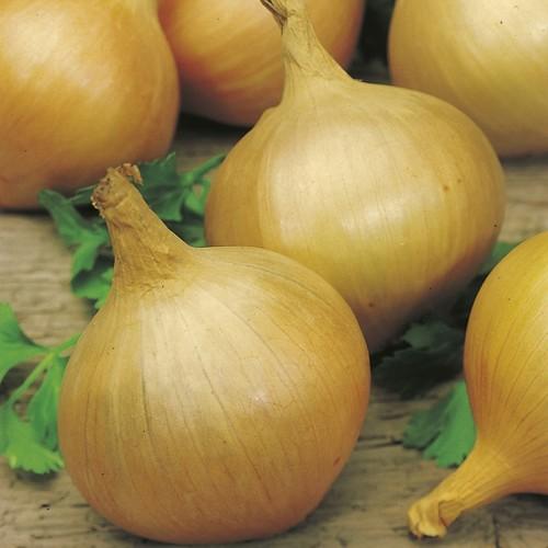Seminte ALLIUM cepa-Onion-Sturon-ORG-Ceapa de arpagic, plantare primavara