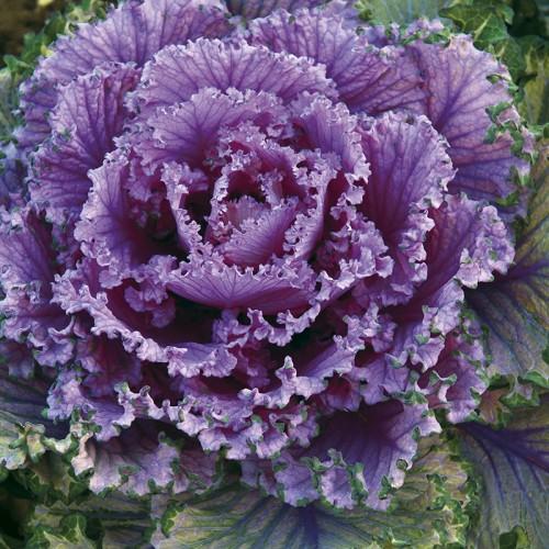 Seminte BRASSICA-Kale- oleracea acephala Candy Floss-Varza de frunze (pt baby leaves)