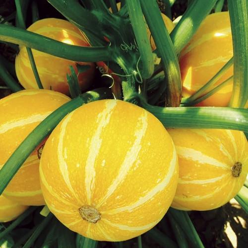 Seminte CUCURBITA-Courgette -pepo Summer Holiday-Dovlecel galben, rotund
