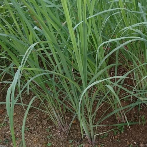 Seminte CYMBOPOGON citratus -Lemongrass-Iarba de lamaie