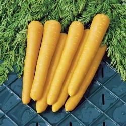 Seminte DAUCUS carota-Carrot-Gold Nugget F1-Morcov galben