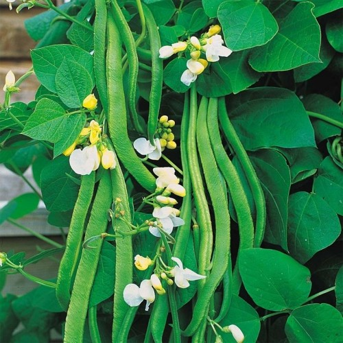 Seminte PHASEOLUS coccineus-Runner Bean-White Emergo ORG-Fasole urcatoare cu flori albe