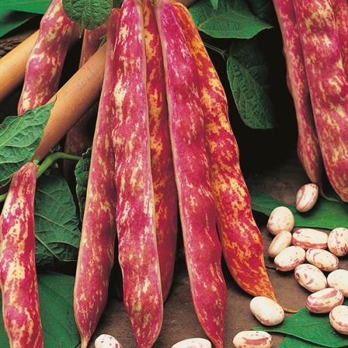 Seminte PHASEOLUS vulgaris-Clg Bean-Jiminez-Fasole urcatoare cu boabe pestrite