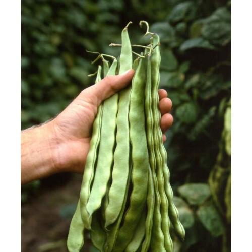 Seminte PHASEOLUS vulgaris-Clg Bean-Limka ORG-Fasole urcatoare timpurie
