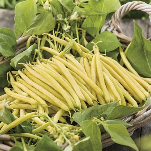Seminte PHASEOLUS vulgaris-Dwarf Bean- Cala DÓr-Fasole pitica cu teci galbene