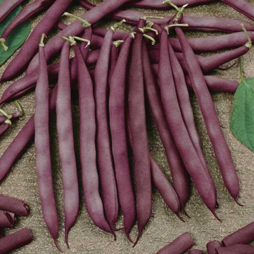 Seminte PHASEOLUS vulgaris-Dwarf Bean-Red Swan-Fasole pitica cu teci roz
