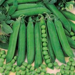 Seminte PISUM sativum-Pea-Rondo ORG-Mazare rezistenta la fusarium