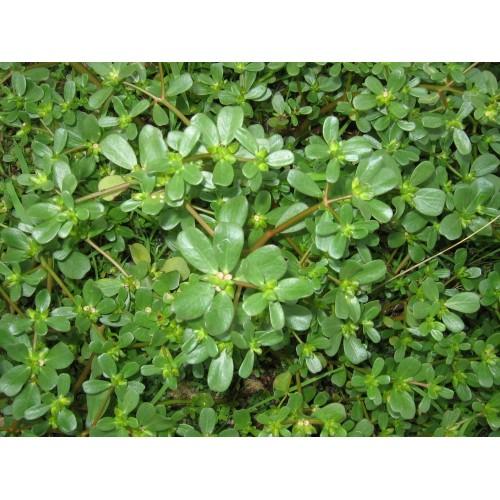 Seminte PORTULACA oleracea-Herbs-Purslane-Iarba grasa
