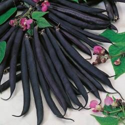 Seminte PHASEOLUS vulgaris-Dwarf- Purple Queen - Fasole pitica cu pastai negre