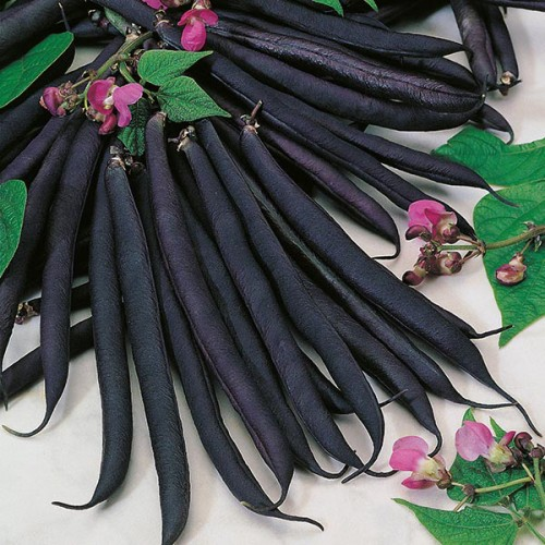 Seminte PHASEOLUS vulgaris-Dwarf Bean- Purple Queen - Fasole pitica cu pastai negre