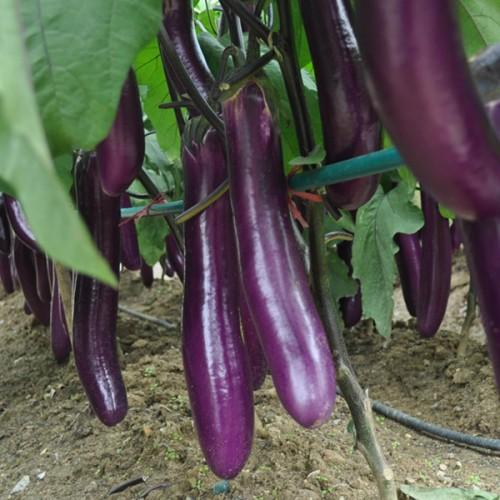 Seminte SOLANUM melongena-Aubergine-Early long purple 2 - Vinete