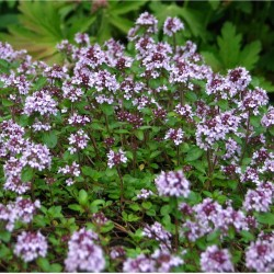 Seminte THYMUS serphyllum-Thyme Creeping-Cimbru acoperitor