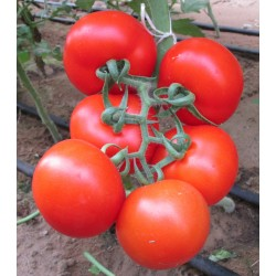 Seminte TOMATO Ace 55 VF ORG-Tomate rezistente la verticilium si fusarium