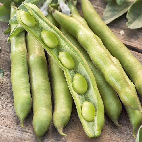 Seminte VICIA faba-Broad bean-Express (Eleonora) ORG-Bob foarte productiv